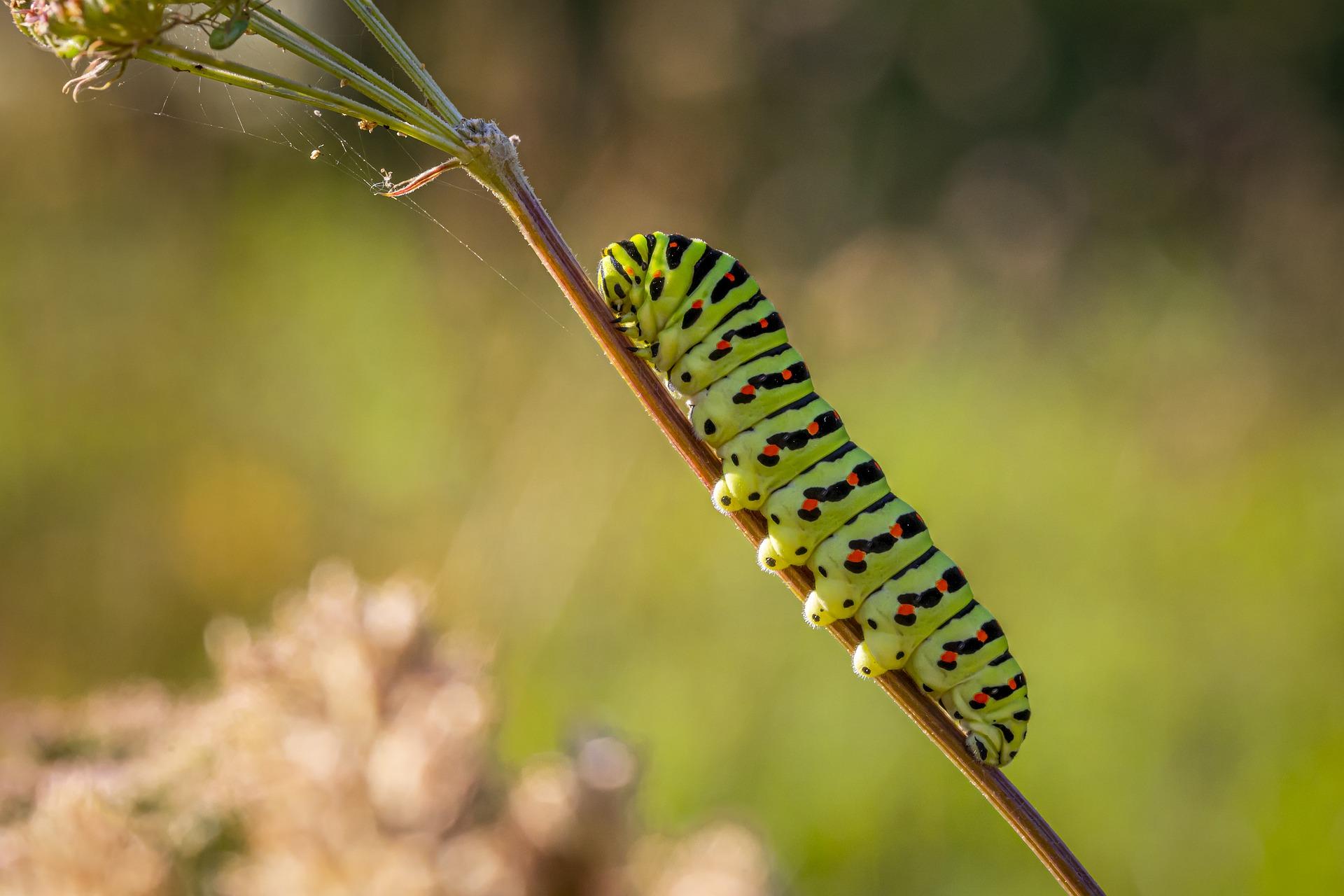 Schwalbenschwanzraupe (Bild von Erik Karits auf Pixabay)